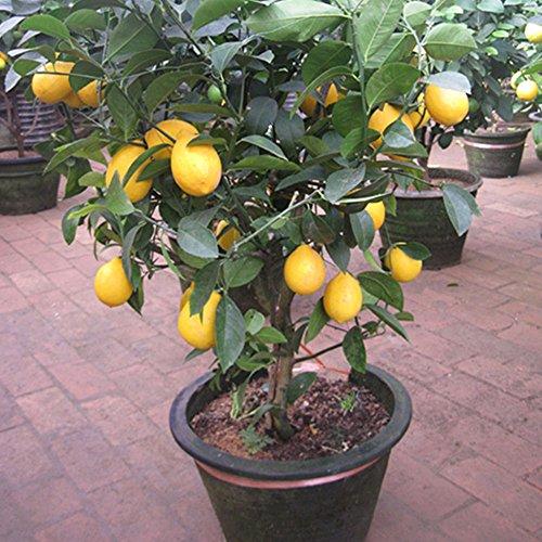 Auntwhale 10 piezas de semillas de limón