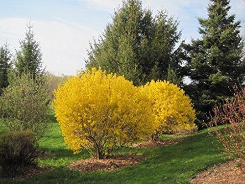 Lynwood Gold Forsythia Bush - Yellow Flowering Shrub - Live Plants Shipped 1 to 2 Feet Tall by DAS...