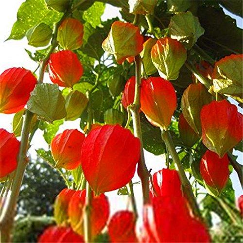 Graines Bonsaï Coqueret plantes vivaces ornementales arbres exotiques graines décoration de jardin Livraison gratuite mis en pot 50 pcs T071