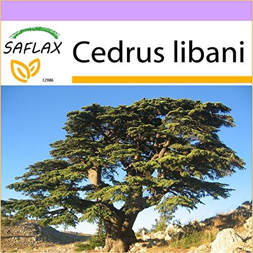 SAFLAX - Cedro libanese - 20 semi - Cedrus libani