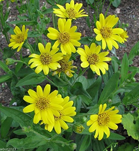 50 Meadow Arnica Seeds a.K.a Chamisso arnica,-...