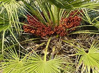 Seeds Mediterranean Fan Palm European Dwarf Tree Shrub Chamaerops Humilis Get 5 Seeds #SFB01YN