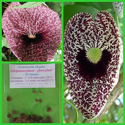 Gespensterpflanze - 100 Samen - Aristolochia elegans -