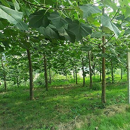 30 semillas / paquete, envío libre, blanco, azul, púrpura semilla de paulownia rosa, las semillas más bellos árboles, plantas raras