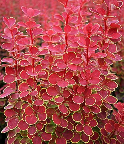 "Berberitze""Orange Sunrise"",1 Pflanze"