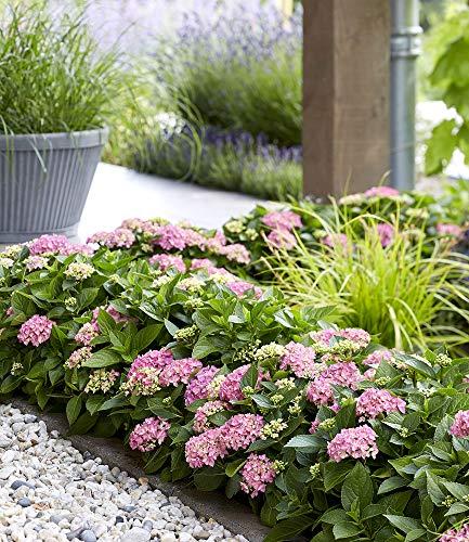 BALDUR-Garten Hortensien-Hecke Forever &...