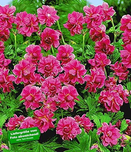 BALDUR Garten Winterharte Geranien 'Rote Burcs Double®', 2 Knollen, Geranium himalayense