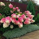 50 semillas de vainilla fresa hortensia flor como bonsai planta o árbol en maceta o terreno hortensia macrophylla Para el hogar y jardín