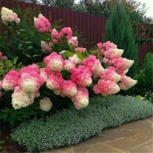 50 Graines Vanille Fraise hortensia Fleur comme plante ou un arbre bonsaï en pot ou moulu Hydrangea macrophylla Pour Maison & Jardin