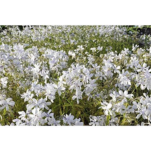 Phlox divaricata 'White Perfume' - Wald-Phlox 'White Perfume' - 9cm Topf