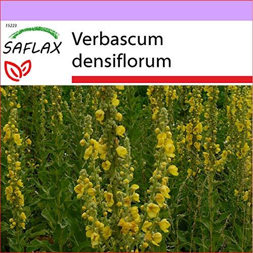 SAFLAX - Heilpflanzen - Großblumige Königskerze - 500 Samen - Verbascum densiflorum