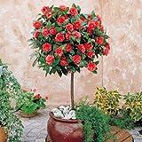 100% de semillas de camelia real Común, (Camellia japonica), semillas de flores bonsai en macetas de plantas al aire libre de bricolaje para el jardín de 5 PC/bolso