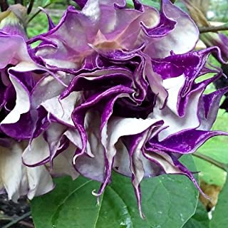 50 Seeds of Datura metel - Devil's Trumpet. Bush filled with etheral fully double purple frilly blooms