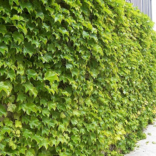 Boston Ivy Parthenocissus Tricuspidata 10,20 Seeds
