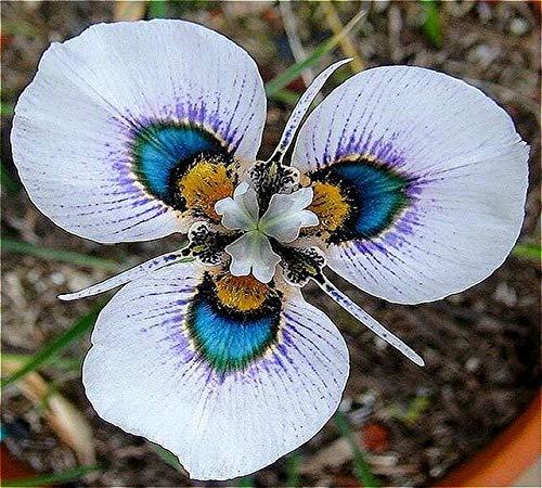 Verde: 50 piezas de semillas de orquídeas Semillas de flores Jardín casero raro Phalaenopsis Comprar directo de Orquidea Semente Plantas en macetas Colores mezclados