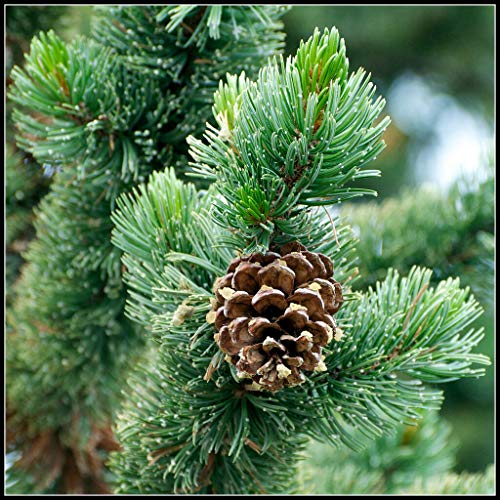 20 Bristlecone Pine Pinus Aristata (Hardy Evergreen, Bonsai) Tree Seeds 'My' #RR09