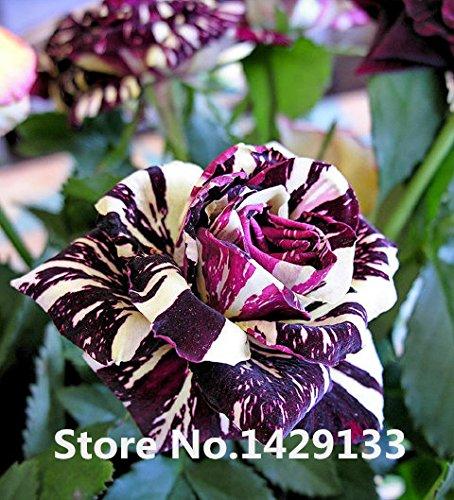 Strip Arbuste Rose Fleurs Graines 200PCS Rare graines Bush Rainbow Rose Yello Rouge Rose Violet Garden Bonsai de plantes exotiques