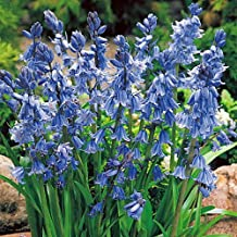 dark hyacinth