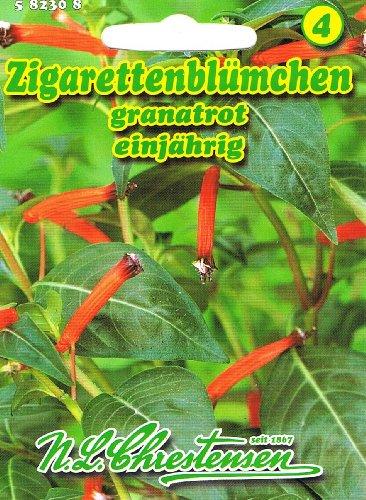 Zigarettenblümchen granatrot, einjährig, Beet- und Balkonpflanze 'Cuphea ignea'