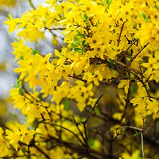 Yellow Forsythia Wreath Flower Seeds -10pcs Easy to Grow for Bonsai Home Garden Indoor Outside Yards Planting