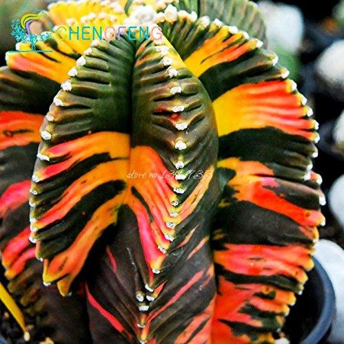 100+ Aztekium valdezii muy inusual semillas de cactus frescas decoración de jardín Bonsai plantas de flor de semillas * para el pote casa verde
