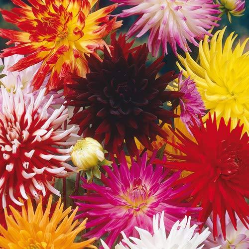 Blumenzwiebeln für Frühlings-, Sommer-...