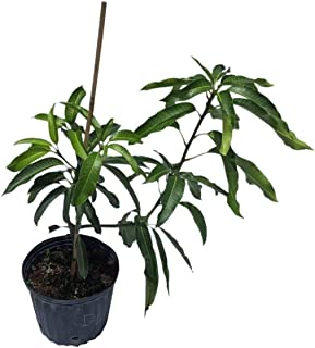 Best grafted mango tree height Reviews
