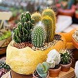 Cactus mezcla semillas