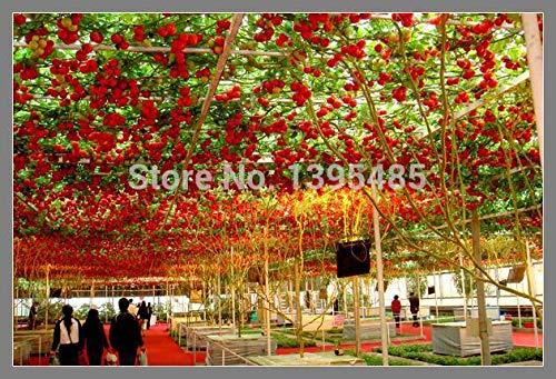 Shopvise 100 Samen Hochwertig. Gemüsesamen-Samen-Tomaten-Samen des Tomaten-Gewächshaus-Samen des Tomaten-Samen-kletternden Balkon-Topfes