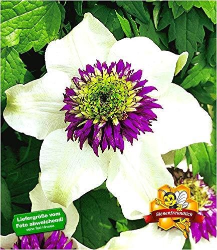 BALDUR Garten Waldrebe Clematis 'Florida Sieboldii' winterhart, 1 Pflanze Klematis mehrjährige blühende Kletterpflanzen