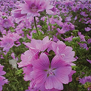 ADB Inc Hollyhock Mallow Mystic Merlin Beautiful Hardy Perennial Species