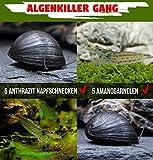 Antialgas Gang–La unschlagbaren algas fresser en acuario–5x neritina pulligera & 5x CARI Dina multidentata
