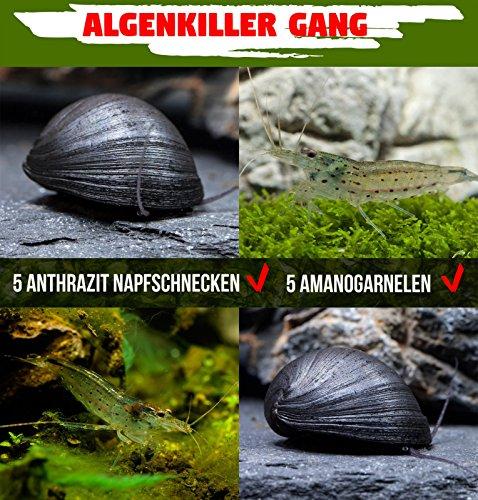 Algenkiller Gang - die unschlagbaren Algenfresser im Aquarium - 5 x Neritina pulligera & 5 x Caridina multidentata