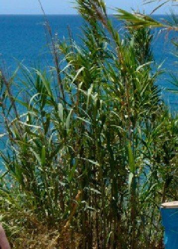 Tropica - Gräser und Bambus - Spanisches Riesenschilf (Arundo donax) - 25 Samen