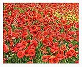 Red Flanders Poppies - 50,000 Flanders Poppy Seeds