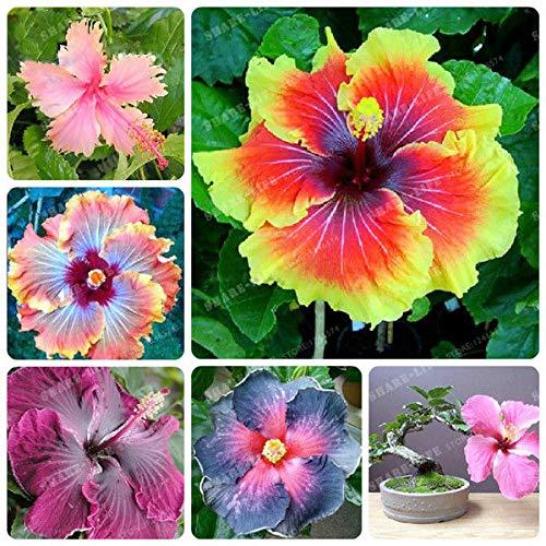 Shoopy Star 10: Rare Multi Color Fleur Phlox Graine pot Bonsai Accueil Ornements de jardin 200 Pcs