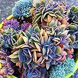 ベストセラー100ピース日本多肉植物種子珍しい屋内花ミニサボテン種子肉質植物ポリゴン花種子販売