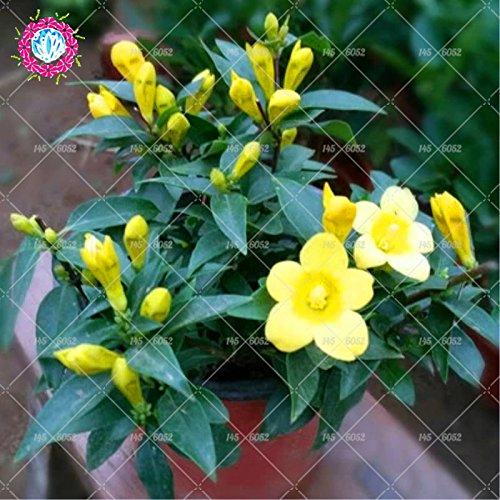 10pcs/sac graines de jasmin (graines de géranium) plante jasmin parfum de graines de fleurs bonsaï molly délicat pour le jardin de la maison 1