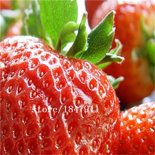 Big vente original Paquet 500 graines / Pack, Strawberry Fruit maïs, Beau maïs fraise fruit, la plantation est simple