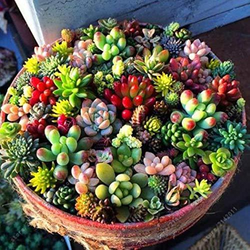fasetry 100 Pcs Mélange Succulent De Graines Charnues Anti-Radiation en Pot De Fleurs Graines