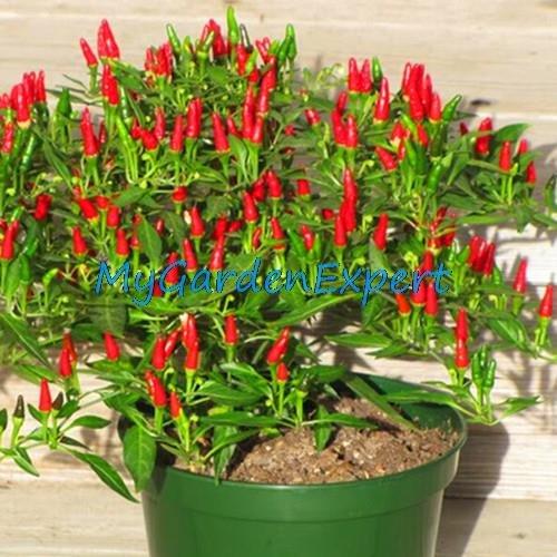 35pcs / lot de la herencia Semillas Thai Sun del pimiento picante de chile Capsicum annuum ornamental Bonsai Plant Mini Hot Pepper Seeds
