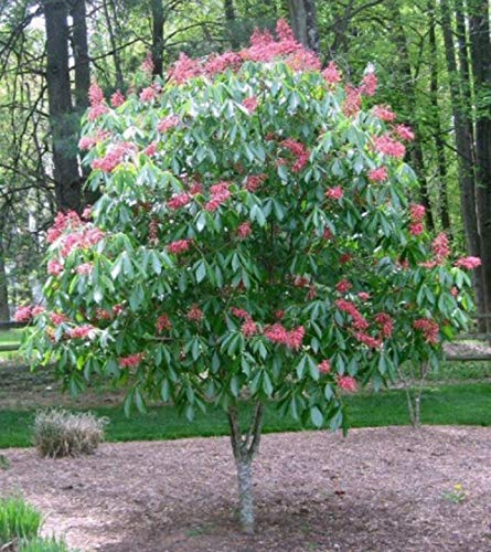 Aesculus Pavia (Scarlet Red Buckeye) 2 yo Plant , 8-14 inches Tall, bareroot