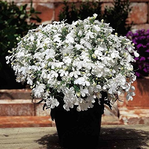 Lobelia Seeds .White Lady.hanging baskets,window boxes(300 Seeds)