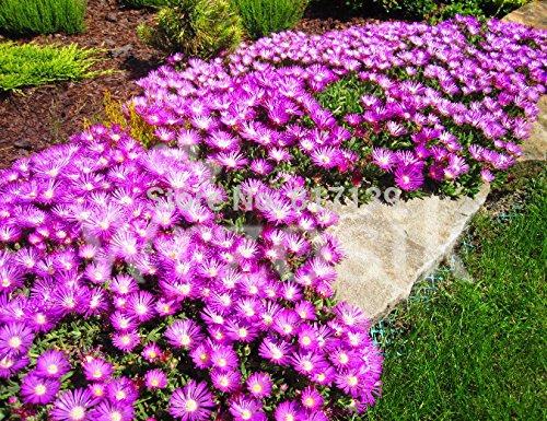New Home Garden Plante 10 graines de glace Plante The Wolds Collection Cooperi Table Mountain Graines de légumes