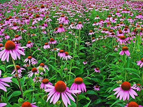 Asklepios-seeds® - 250 Samen Echinacea purpurea, Purpur-Sonnenhut, Roter Scheinsonnenhut