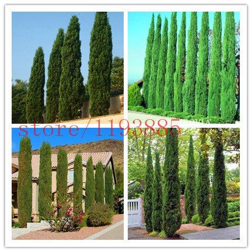 graines d'arbres 100 pcs ITALIEN graines Cyprès (Cupressus sempervirens stricta) jardinage Accueil