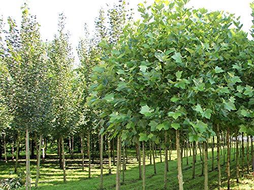 Platane Alphens Globe - Plantanus hispanica Alphens Globe- Hochstamm - Stammumfang 12-14 cm - Containerware - Garten von Ehren®
