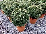 PREMIUM Ilex crenata Stokes Kugel rund Ø 35 cm Buchsbaum Ersatz winterhart + robust