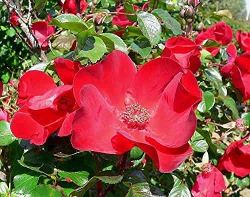 30 japonais Rose rouge Bush Rosa rugueuse Rouge Rugrose parfumée Fleurs Graines