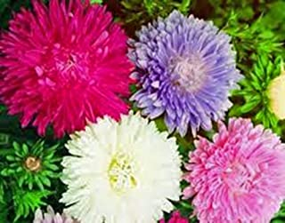 Aster, Giants of California 100 Seeds Organic, Beautiful Vivid Bright Blooms
